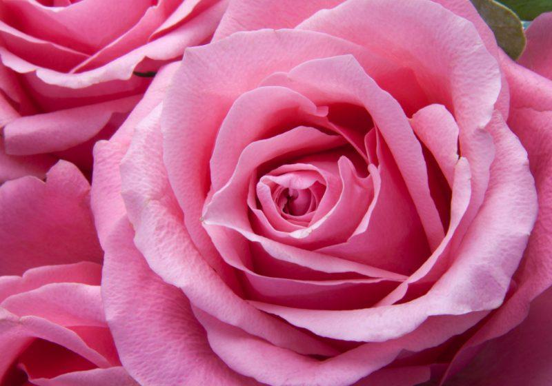 Pink rose floral facial mask rose powder ayurvedic mask | The Sublime Woman